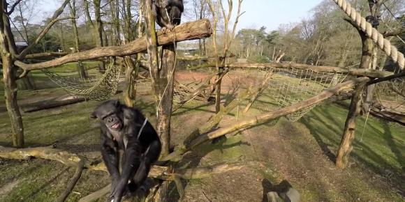 foto chimp burgers zoo